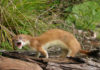 Stoat in fight mode