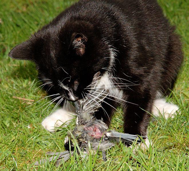 cat-eating-bird