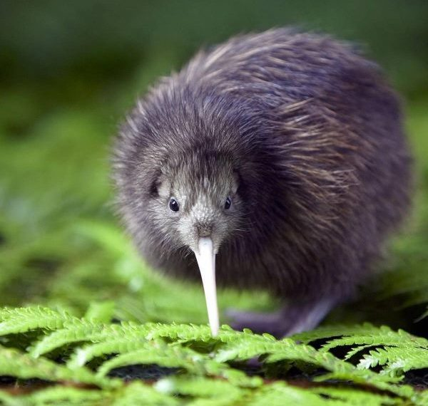 Kiwi Project